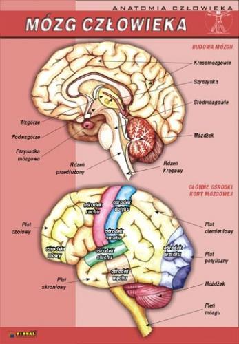 Anatomia Czlowieka Wybor 19 Plansz Edutop