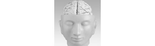 Budowa głowy i mózg